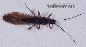 5 bugs for fly fishing